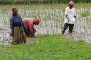 Handarbeit im Reisfeld